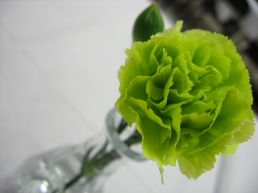 Besides the short ridges along the tops of each petal, there are many petals on this oddly green carnation.