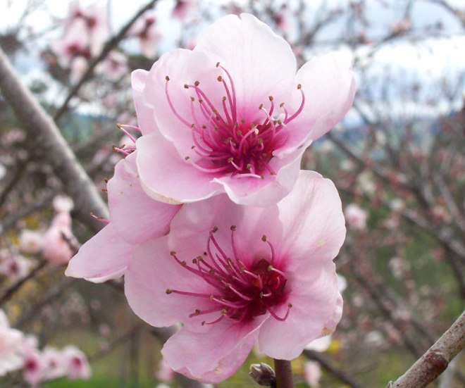Peach blossoms have five delicate petals. From the image, the center has these bristles like from a hairbrush with tiny plastic balls at end.