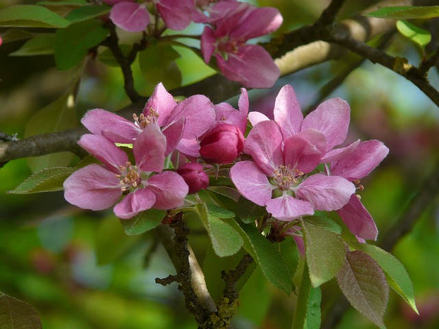 These purple peach blossoms also have five, delicate petals. The petals' bases aren't wide as the pink ones, which cover the center of the bulb. These purple blossoms' center with hairbrush, bristle-like things are shorter than the pink blossoms.