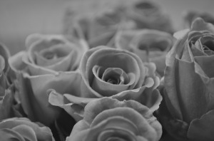 There are about a dozen roses in this black and white image.  The center rose is clear and with the least amount of covering by another rose or cut-off by the border.  They are starting to bloom.