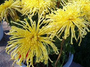 Spider Chrysanthemums have long skinny petals like spider legs